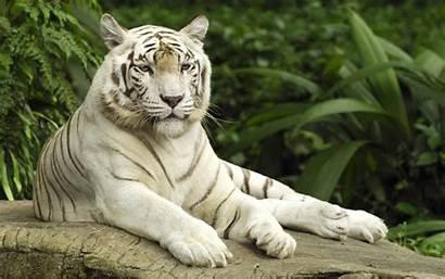 Tiger Wallpapers Wallpapertag