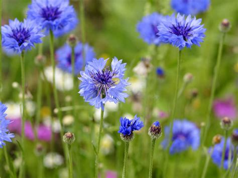 wildflower seed for cottage garden meadow mania