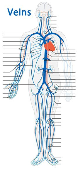 human anatomy review  question