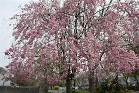 flowering trees northeast a guide to northeastern gardening spring flowering trees pretty in pink and white
