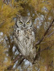 Great Horned Owl Eating Its Own Feather « Feathered ...