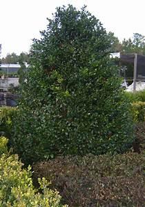 Buy Nellie Stevens Holly Trees  For Sale In Orlando  Kissimmee