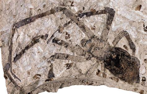 biggest fossil spider