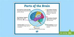 Ks2 Parts Of The Brain Display Poster