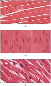 Muscle Tissue  Definition  Function  U0026 Types