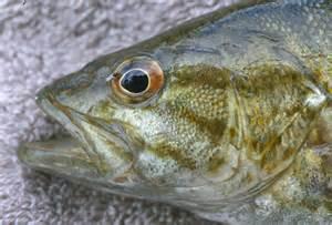 Smallmouth Bass Eyes