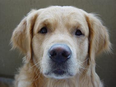 golden retriever puppy training including house training