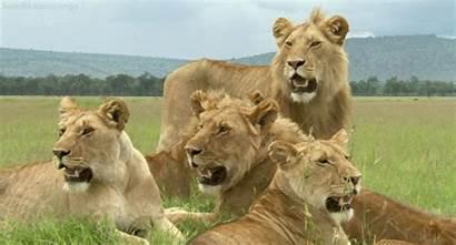 Leo Giphy Panthera Gifs
