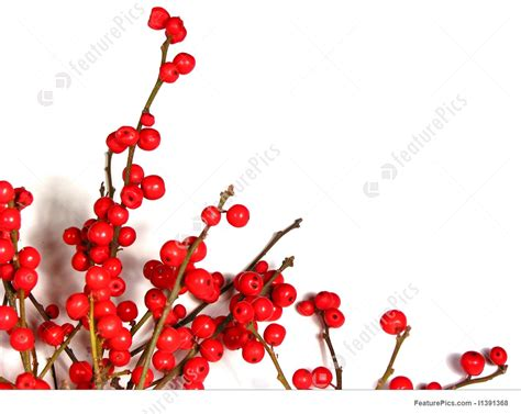 red christmas berries  white picture