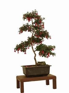 Pflege Von Bonsai Bäumchen : fuchsie als bonsai erziehen und pflegen ~ Sanjose-hotels-ca.com Haus und Dekorationen