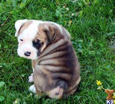 puppies  sale beabulls beagle english bulldog