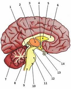Free Anatomy Quiz - Anatomy of the Brain, Quiz 1
