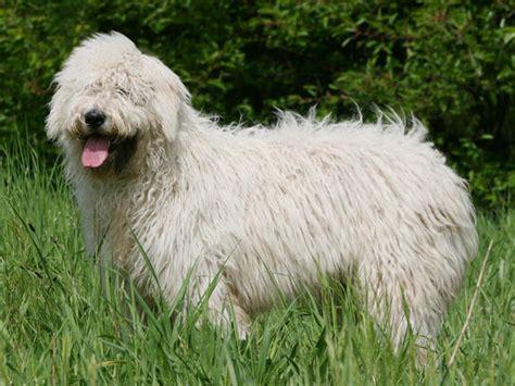 komondor chien  chiot chien de berger hongrois