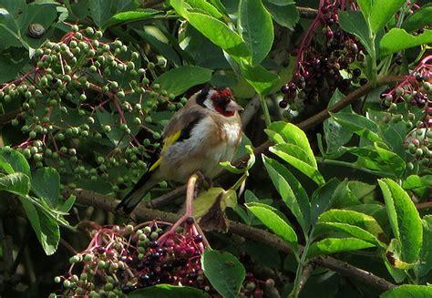 vlierbes in tuin meer vogels in de tuin lokken doe je met deze 9 planten