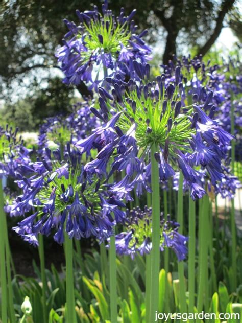 cloud agapanthus a day at the huntington