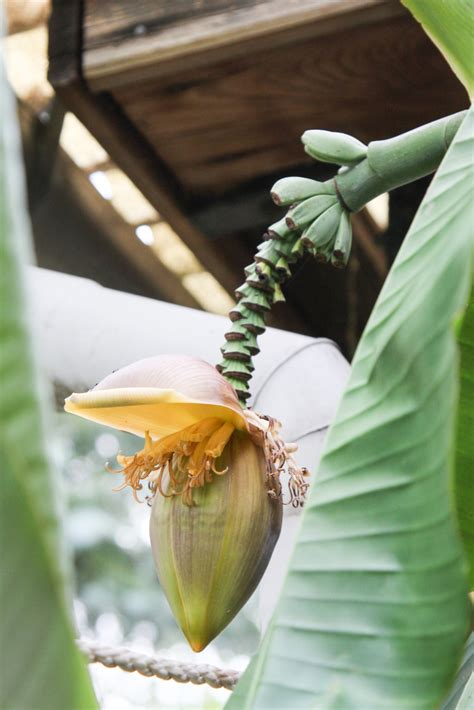mini bananen pflanze riesen bananen pflanze mit bl 252 tenstand im garten 187 majas