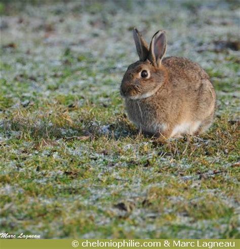 cuisiner le lapin de garenne le lapin de garenne oryctolagus cuniculus
