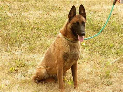 Belgian Malinois Vs German Shepherd Shedding by German Shepherd Breed Info Breeds Picture