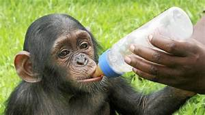 In pictures: Orphan chimps at the Tchimpounga Sanctuary ...