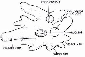 Structure of Amoeba (With Diagram) | Zoology