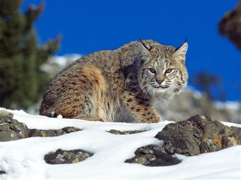 bob cats bobcats wildlife amazing facts photos the wildlife