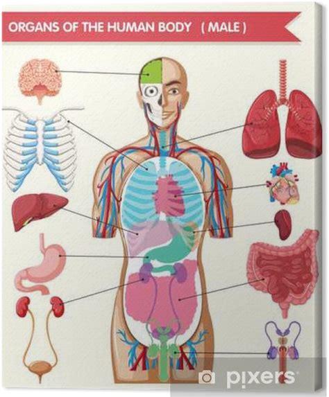 il corpo umano gli organi interni quadro su tela il grafico mostra gli organi corpo