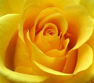 Yellow Roses – Roses Yellow Roses Bouquet Buy Yellow