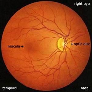 Eye Anatomy  U2044 Retina   Macula  Fovea  Foveola