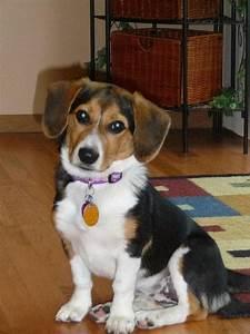 Beagi (Corgi-Beagle Mix) Info, Temperament, Puppies ...