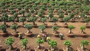 Bonsai Plants Manufacturer in Andhra Pradesh India by Sri