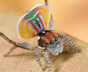 The dancing Peacock Spider – Scientific Scribbles