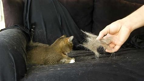 fast cat hair removal by hand painless how to youtube