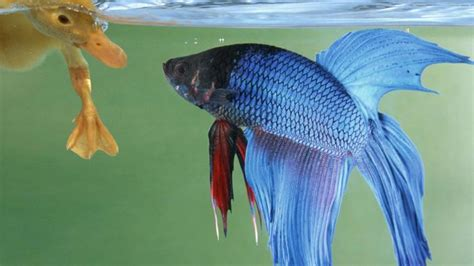 how do beta fish live where do betta fish live reference com