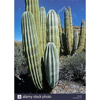 Giant Cardon Cactus Pachycereus pringlei Isla Santa