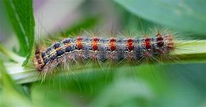 A Very Hungry Caterpillar Is Killing Trees In New England  U2013 Stories From Iseechange