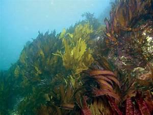 Living In The Ocean Waves  Kelp Life Histories