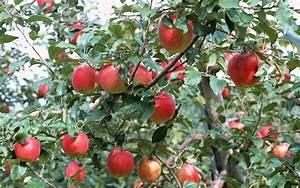 Quand Planter Un Pommier : planter un pommier ~ Dallasstarsshop.com Idées de Décoration