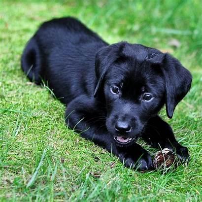 Lab Puppies Puppy Labrador Dog Dogs Cone