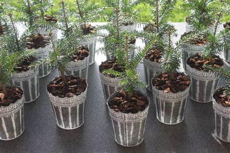 best 28 weihnachtsbaum setzlinge die baumkulturen