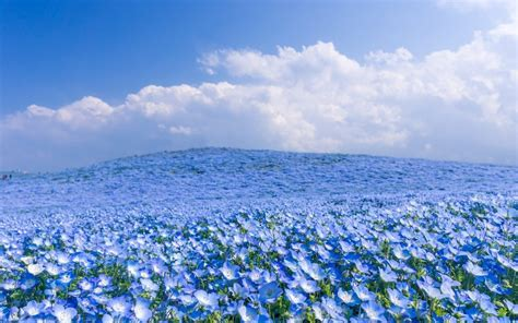 field full  blue flowers wonderful nature wallpaper
