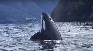 The Pod Of Six Orcas Spent Close To An Hour Trying To