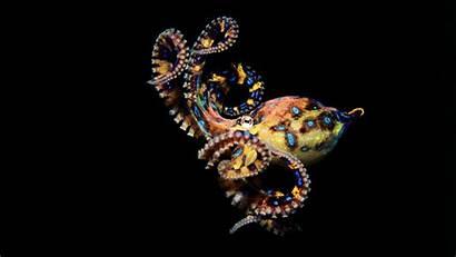 Octopus Ringed Maculosa Animal Hapalochlaena Amazing Octopuses