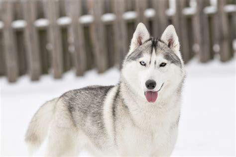 Siberian Huskies Zoey & Jetta