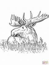 Moose Coloring Pages Printable Grass Elk Head Outline Sitting Drawing Template Animals Snake King Templates sketch template