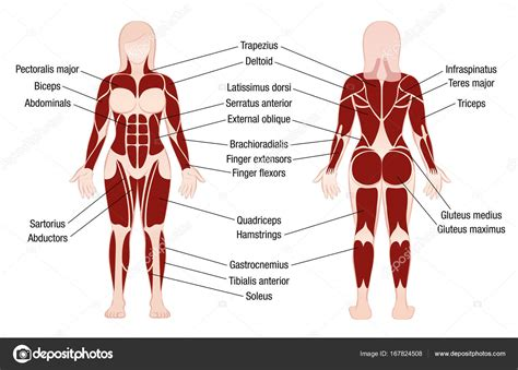 Usually derived from latin, a muscle's name often tells you something about the muscle, such as its location, origin, number of. Body Muscle Names / upper leg muscles common names ...