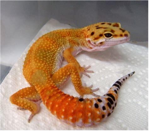 leopard geckos leopard gecko books sale uk