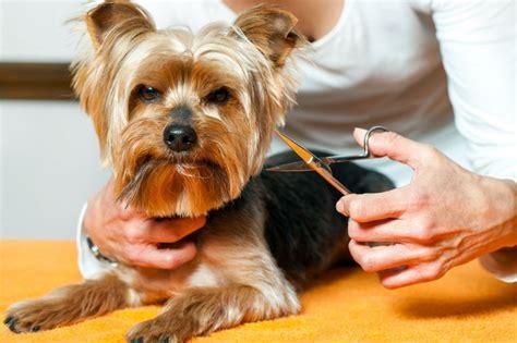 der yorkshire terrier yorkshires machen gluecklich