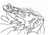 Frog Coloring Frogs Printable Cycle Sheet Template Colouring Blank Outline Draw Drawing Realistic Library Animals Drawings Flower Clipart Return Bestcoloringpagesforkids sketch template