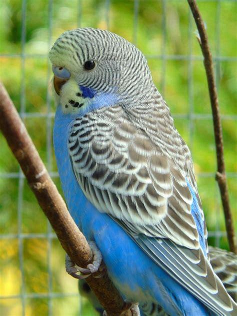 budgie bird 890 best birds budgies parakeets images on pinterest parrots parakeets and budgies