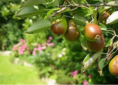 Commun Poirier Plantation Entretien Jardiner Malin